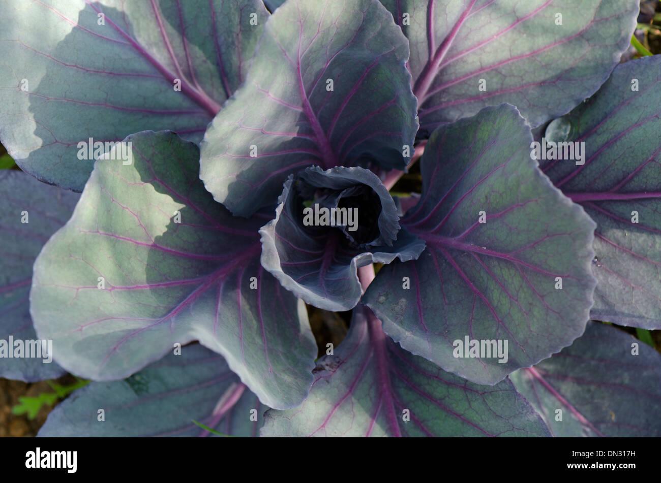 Cavolo rosso, Brassica oleracea var. capitata f. rubra, crescendo in un orto. Immagini Stock
