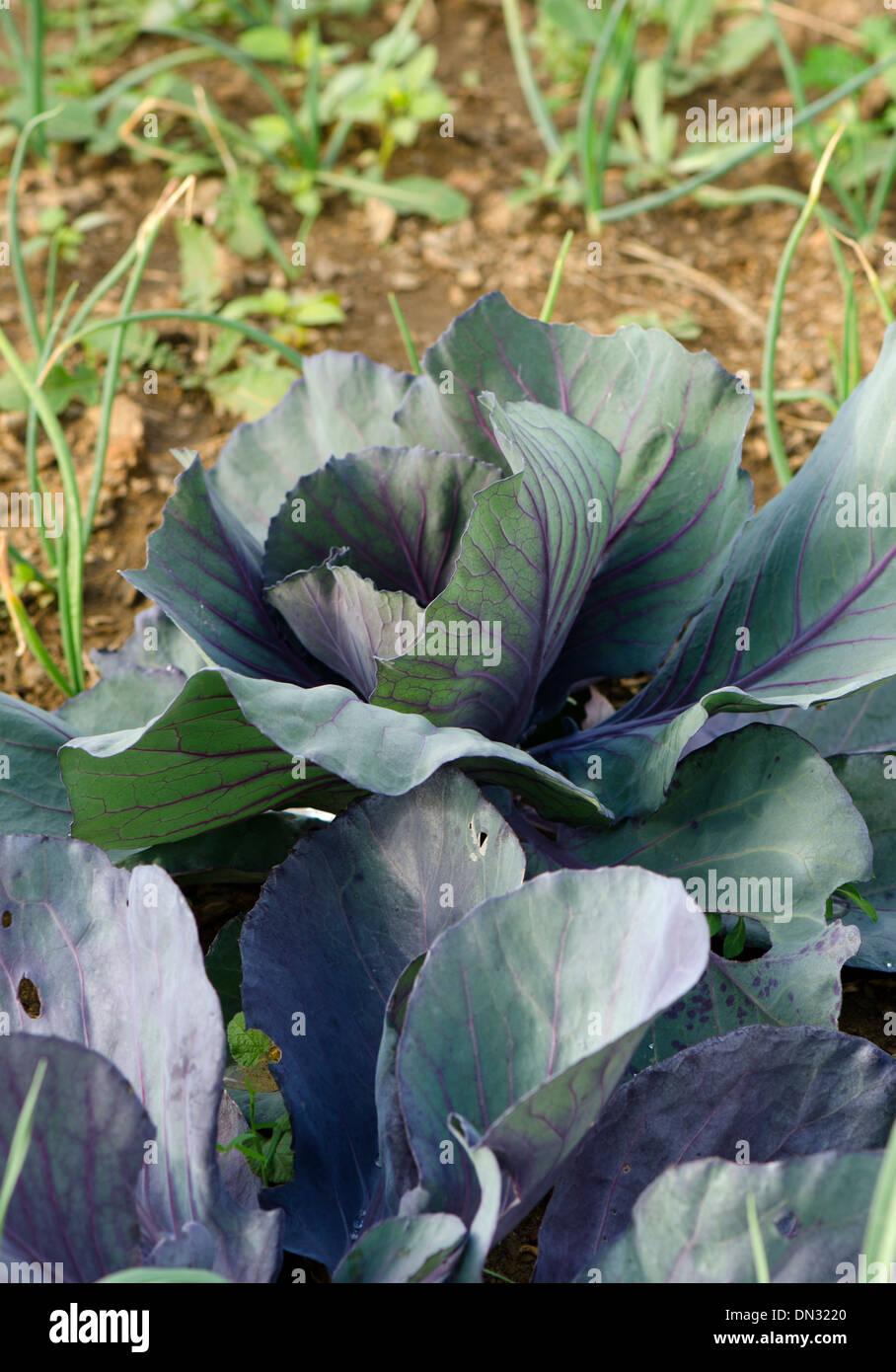 Cavolo rosso, Brassica oleracea var. capitata f. rubra, coltivazione di ortaggi in giardino nel sud della Spagna. Immagini Stock