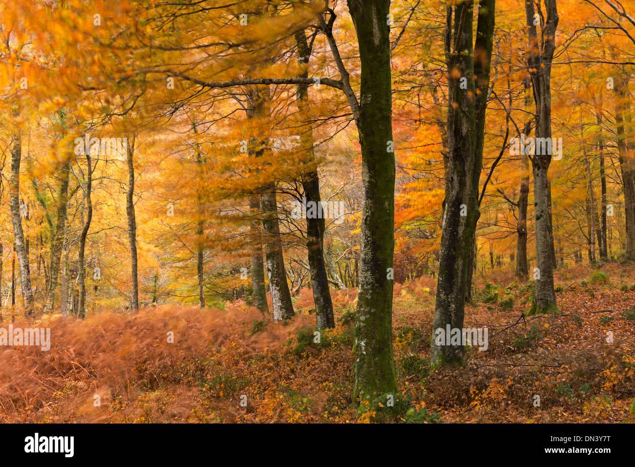 I colori autunnali nei boschi di latifoglie, Parco Nazionale di Exmoor, Devon, Inghilterra. In autunno (Novembre) Foto Stock