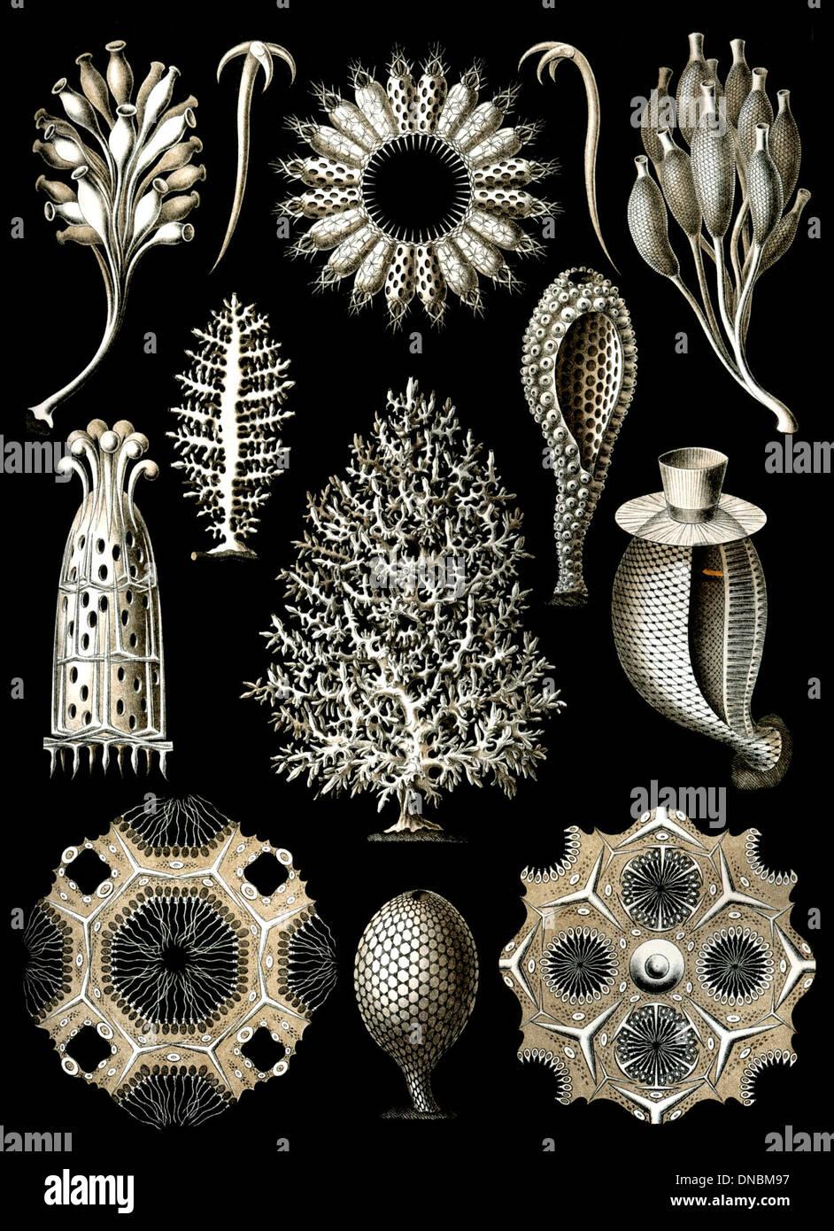 Haeckel Calcispongiae Immagini Stock