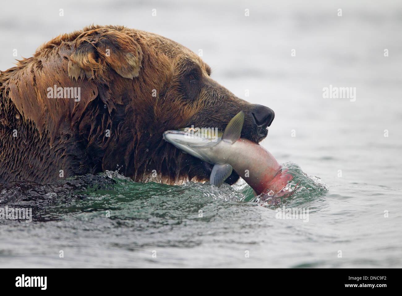 Alaskan orso bruno la cattura del salmone Immagini Stock