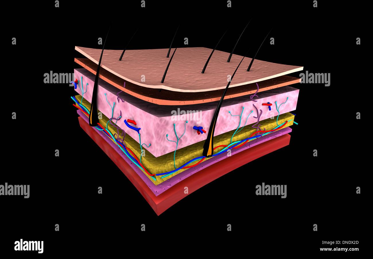 Immagine concettuale degli strati di pelle umana. Immagini Stock
