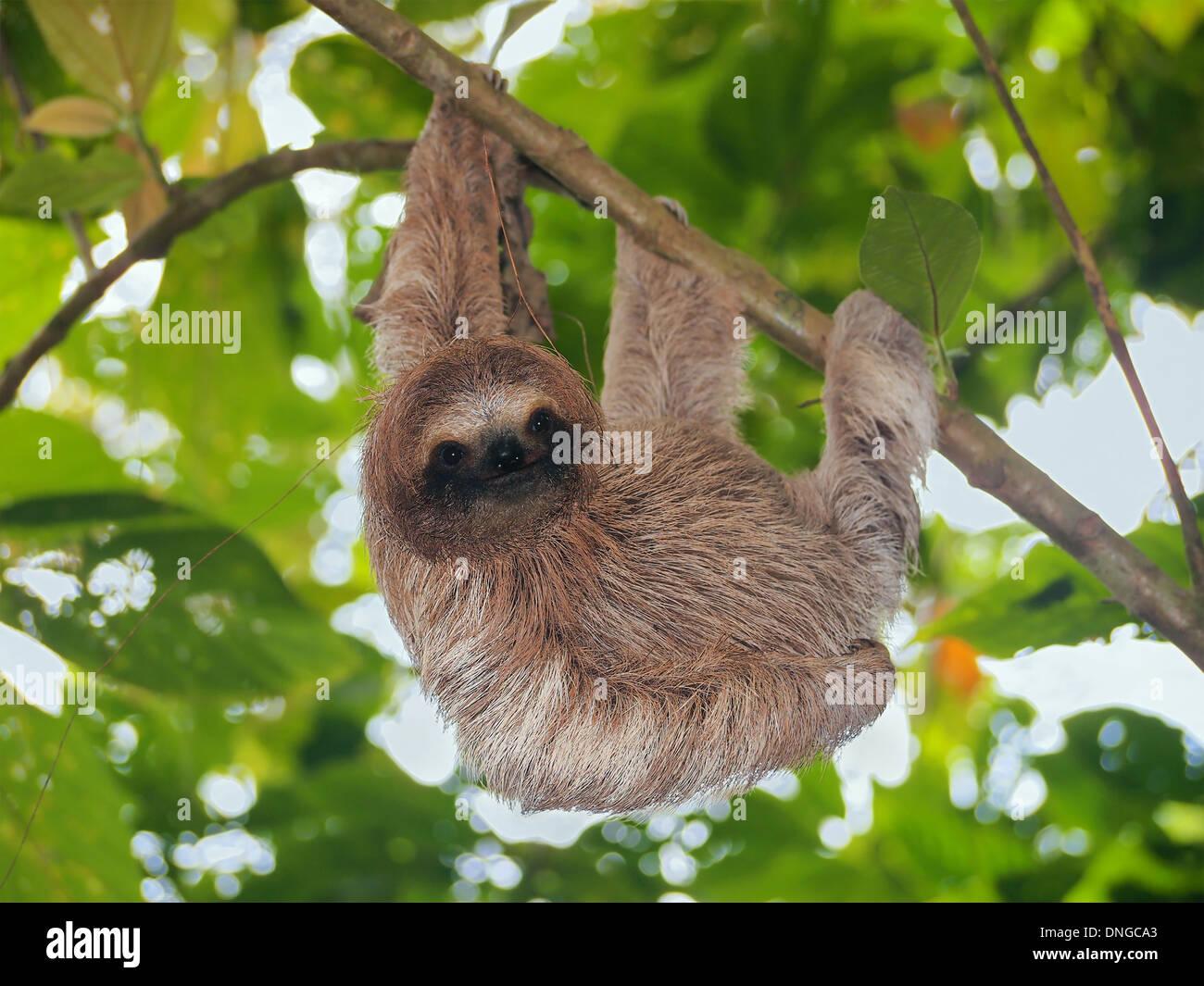 Giovani brown throated bradipo appeso a un ramo nella giungla, Bocas del Toro, Panama America Centrale Foto Stock