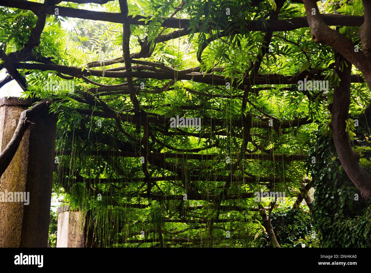 Albero canopy, Villa Cimbrone, Ravello, provincia di Salerno, Campania, Italia Foto Stock