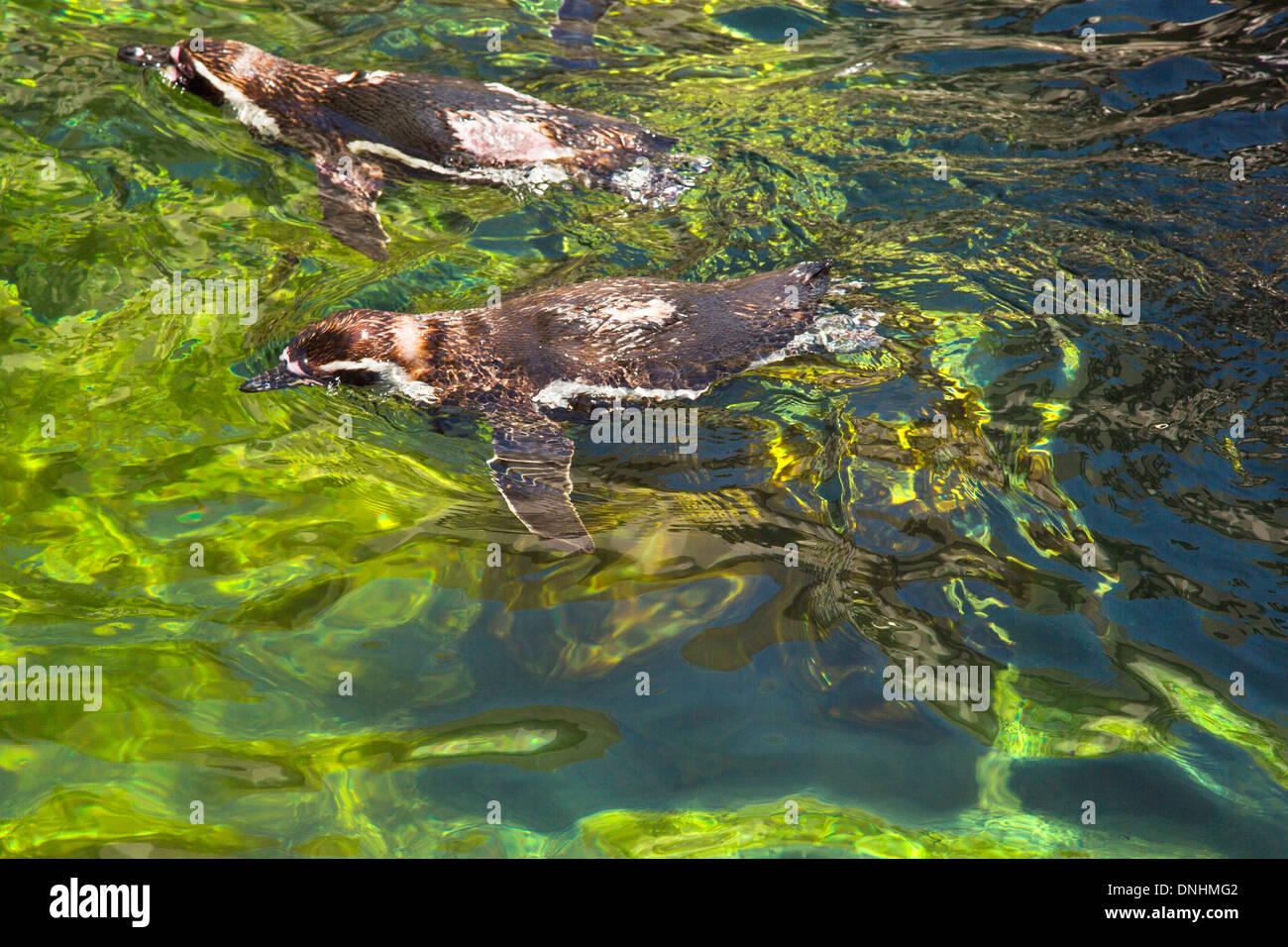 Angolo di alta vista dei pinguini Humboldt (Spheniscus Humboldt) nuotare in un laghetto, allo Zoo di Barcellona, Barcellona, in Catalogna, Spagna Foto Stock