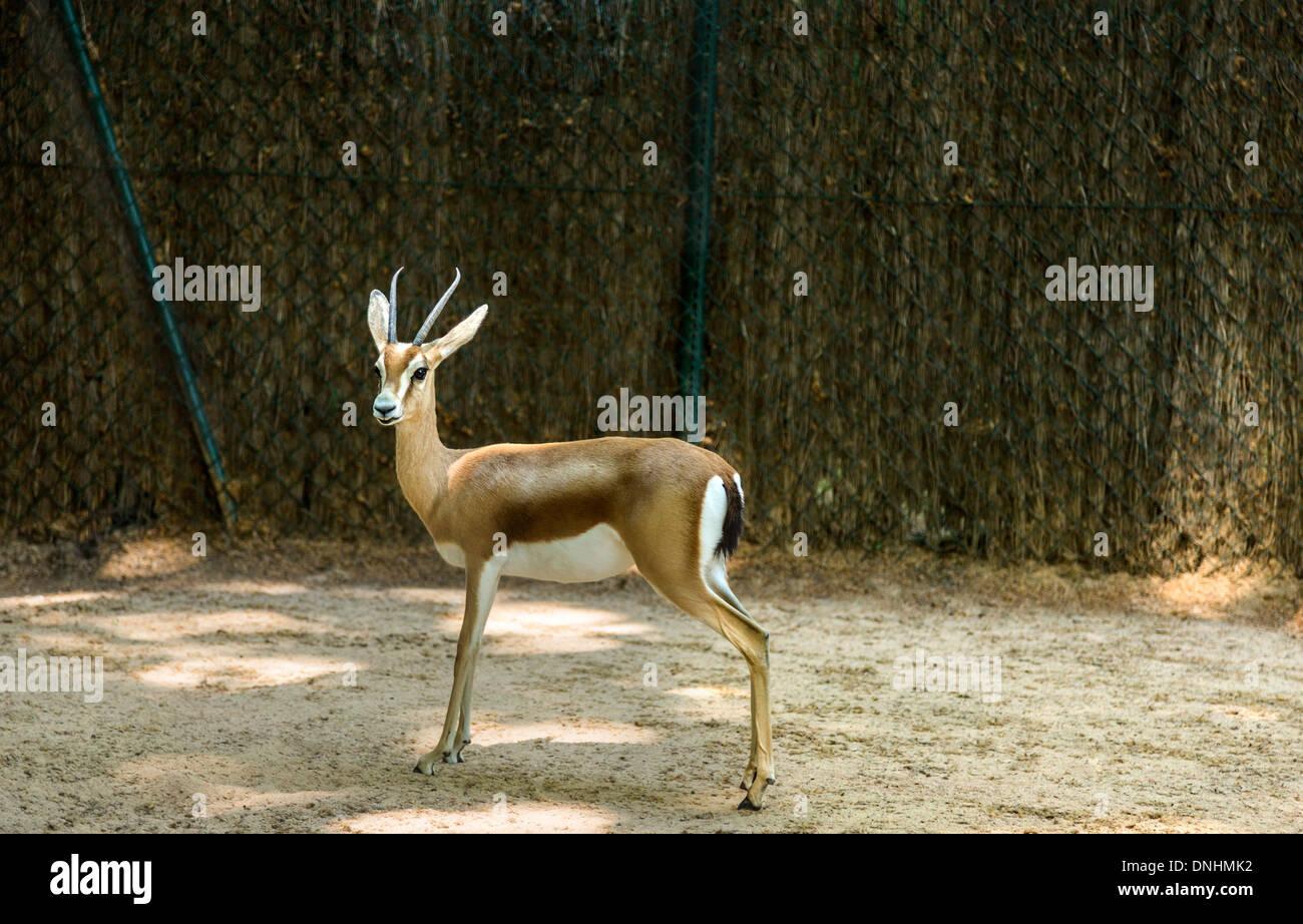 Gazelle in uno zoo, allo Zoo di Barcellona, Barcellona, in Catalogna, Spagna Foto Stock