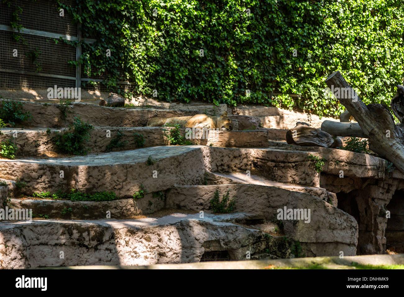 Lion (Panthera leo) dormire nel giardino zoologico, allo Zoo di Barcellona, Barcellona, in Catalogna, Spagna Foto Stock