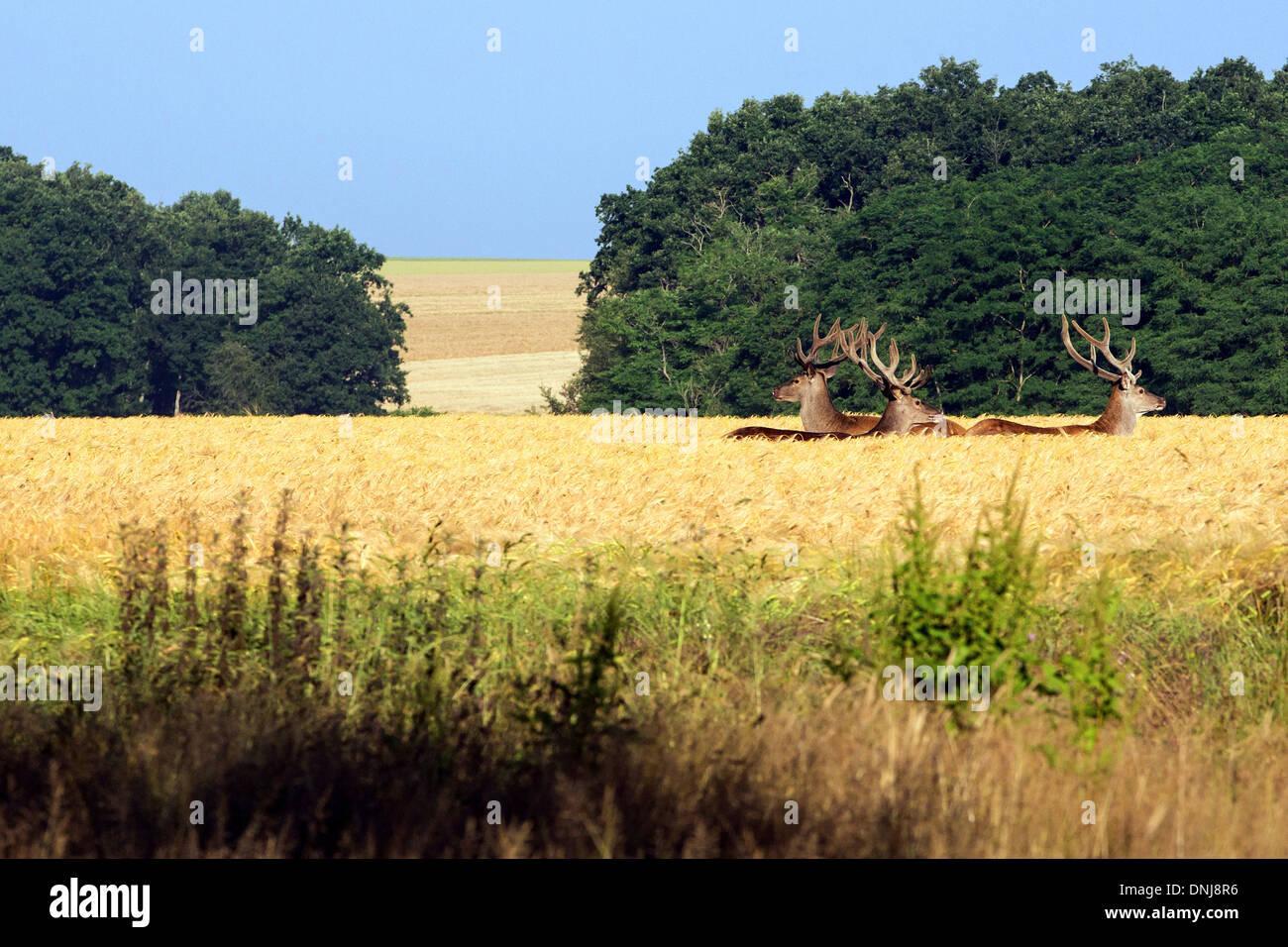 Tre cervi in un campo di grano, pericoli, EURE-ET-LOIR (28), Francia Immagini Stock