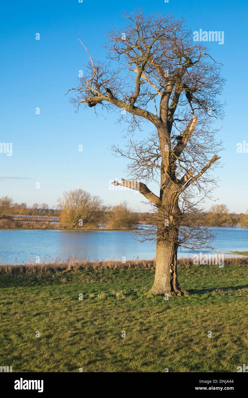 Albero dal campo inondato nord Oxfordshire England Regno Unito Immagini Stock