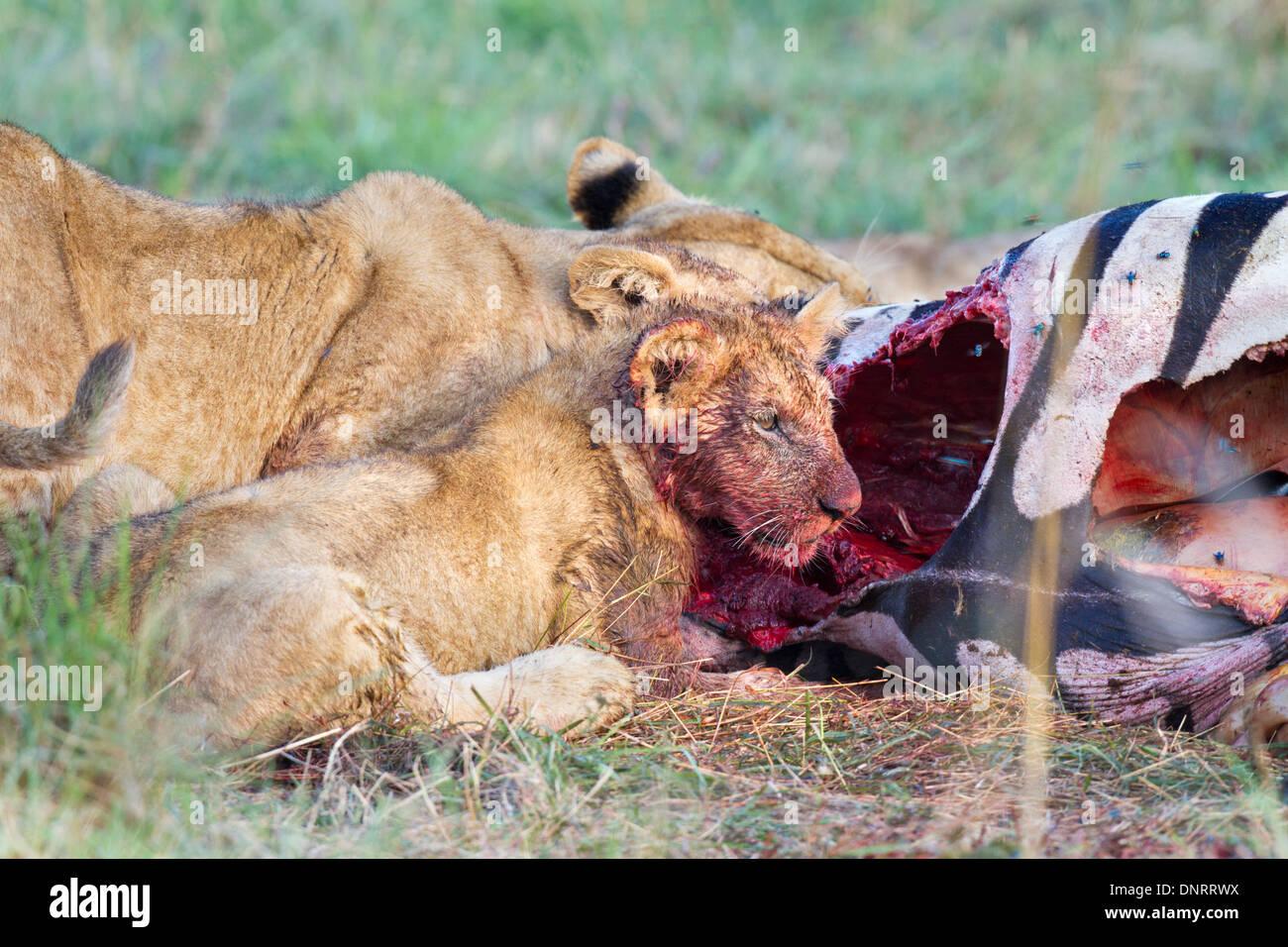 Lion cub mangiare zebra in Mara riserva, Kenya Immagini Stock
