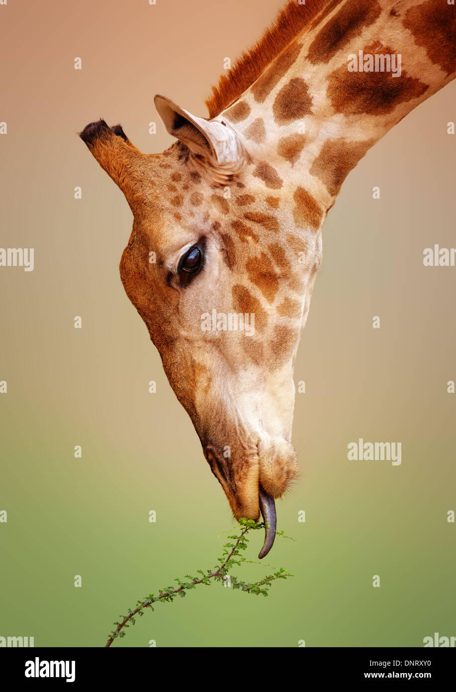 Close-up di una giraffa di mangiare un thorn bush - Kgalagadi Parco transfrontaliera (Sud Africa) Immagini Stock