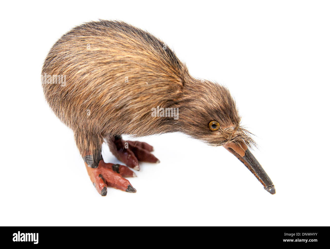 Kiwi bird isolated immagini kiwi bird isolated fotos stock alamy