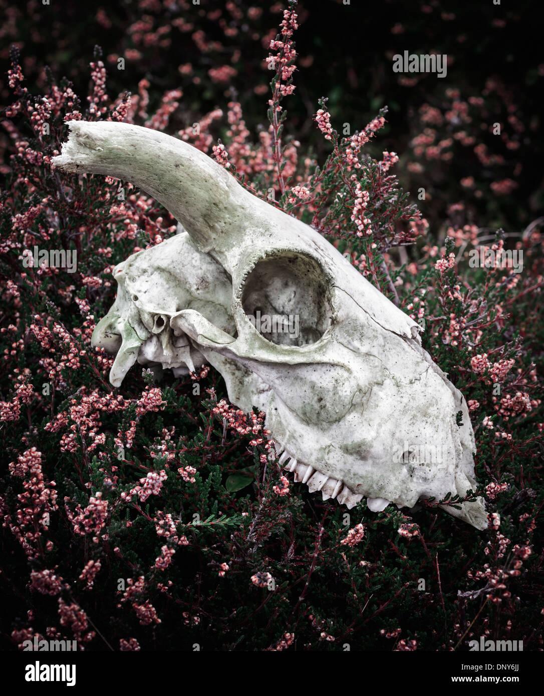Cranio di pecora in appoggio tra heather Immagini Stock