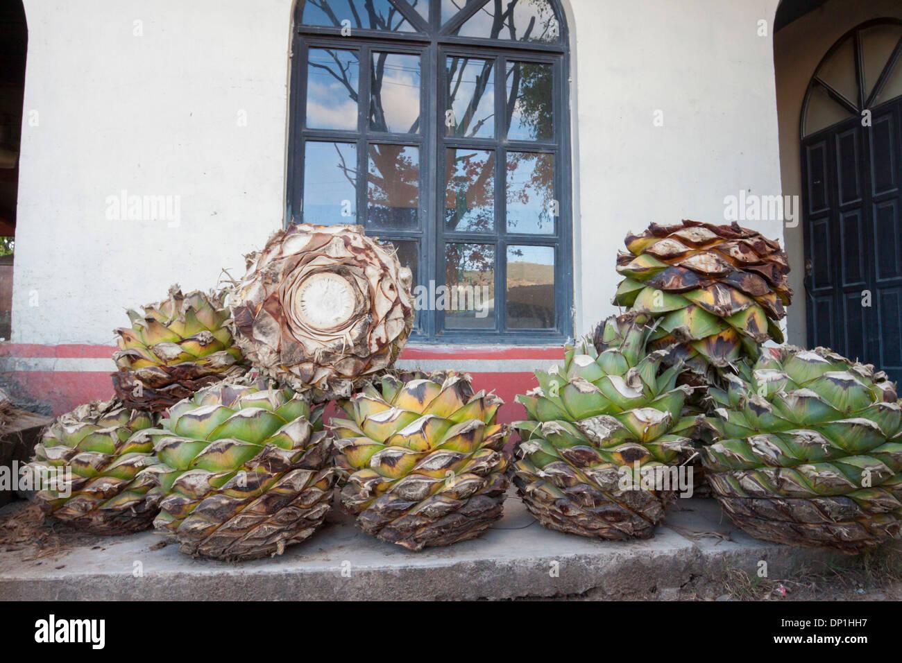 Purea di agave piante dopo bruciato. Matatlan, Oaxaca. Messico Foto Stock