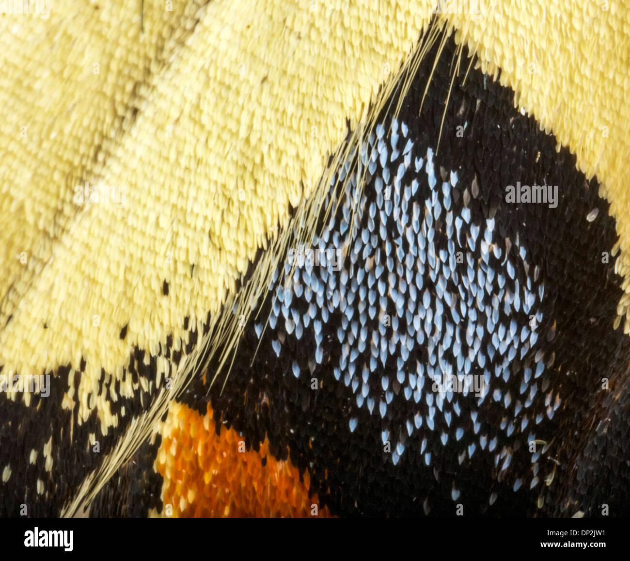 A coda di rondine ala di farfalla Immagini Stock