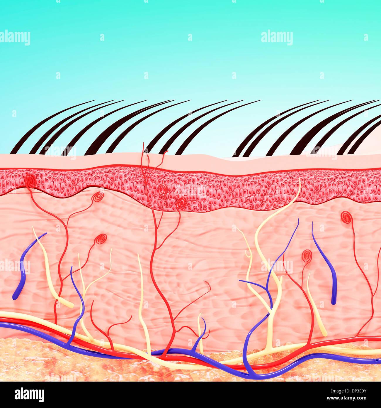 La pelle umana anatomia, artwork Immagini Stock