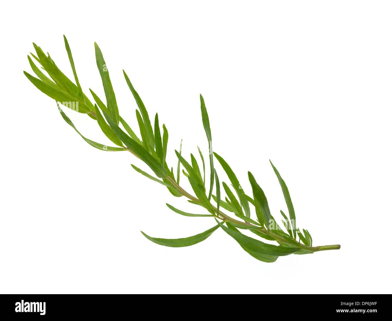 Le erbe fresche dragoncello Immagini Stock
