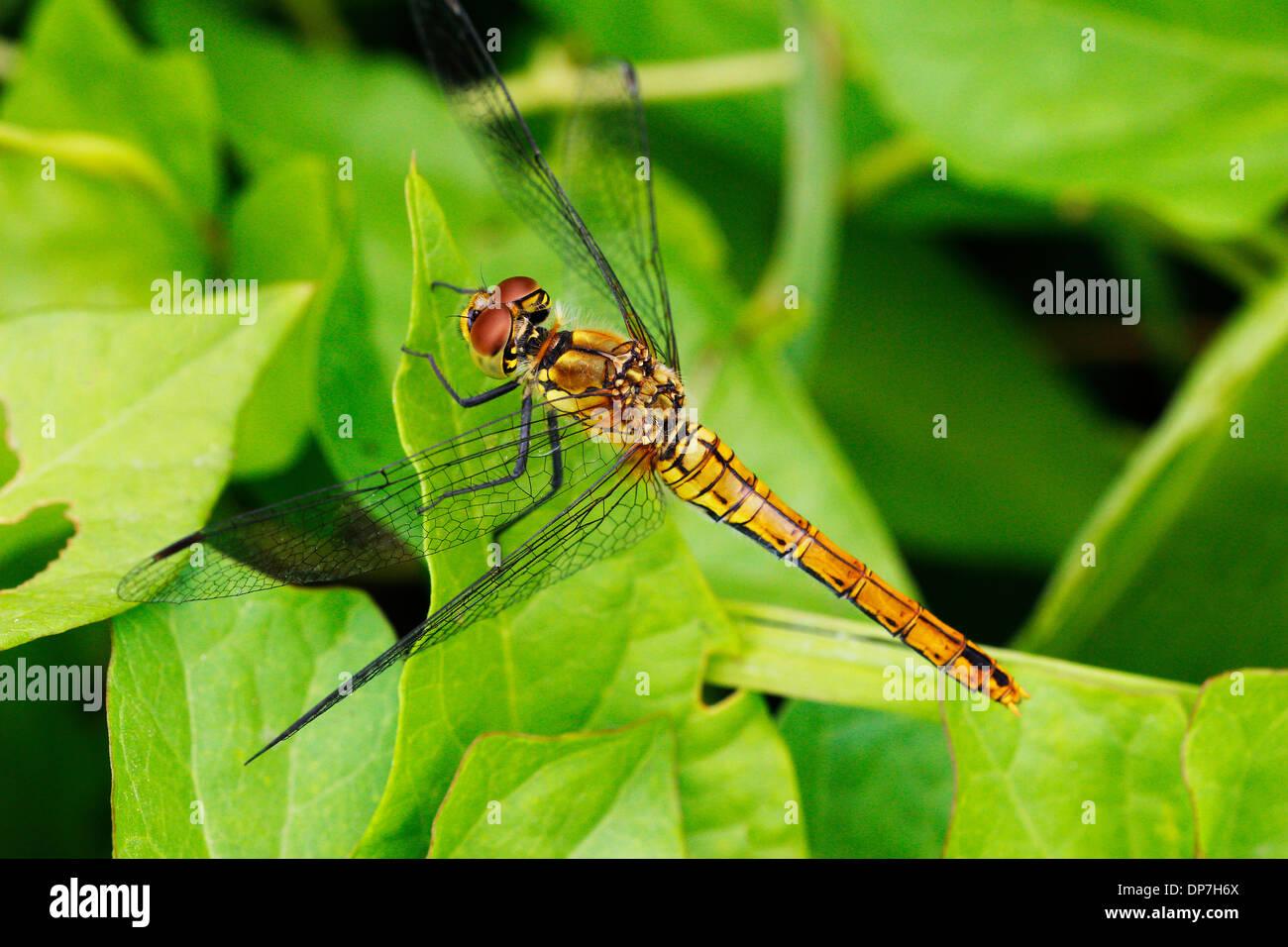 Una fotografia macro di un comune Darter Dragonfly appoggiata su una foglia sui livelli di Somerset nei mesi estivi bellissima. Immagini Stock