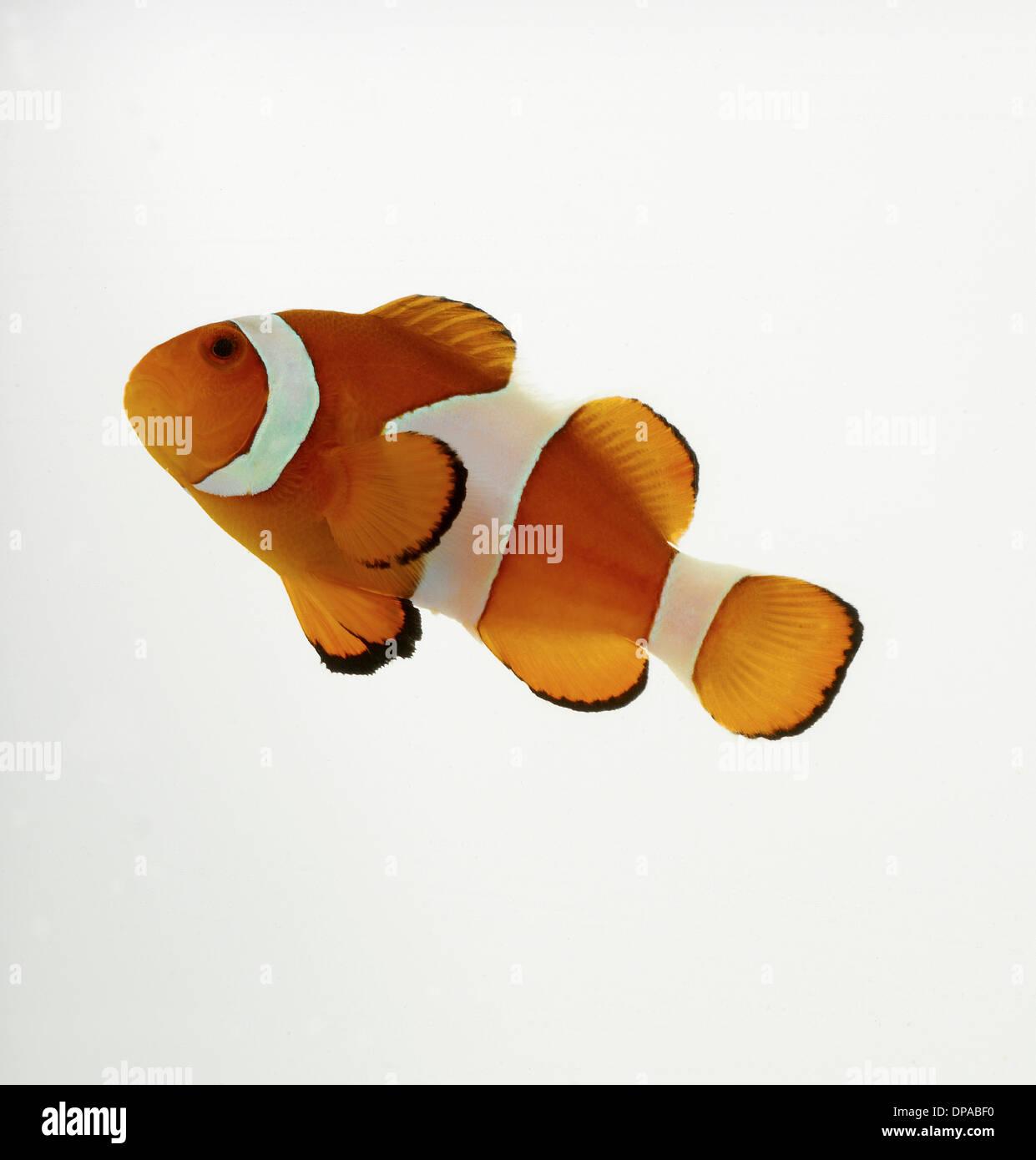 Pesce pagliaccio Immagini Stock