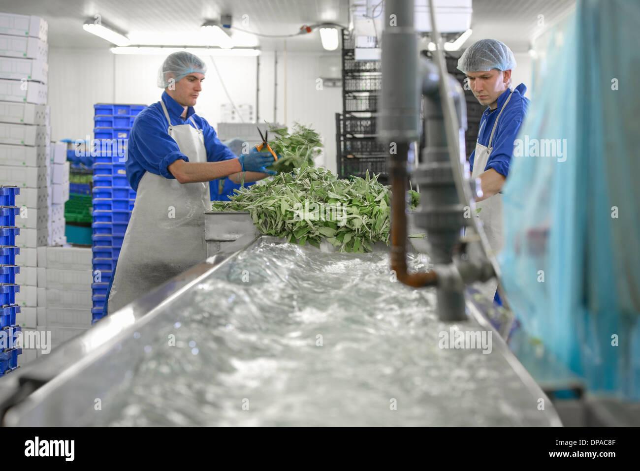 Lavoratori di erbe di lavaggio Immagini Stock