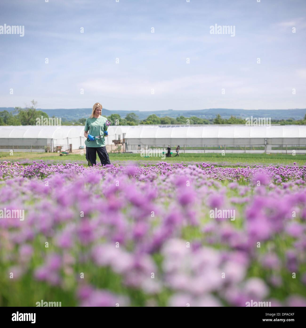 Lavoratori raccolta erba cipollina fresca Immagini Stock