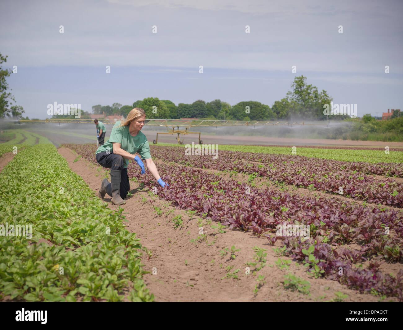 Donna insalata di ispezione di Raccolto Immagini Stock