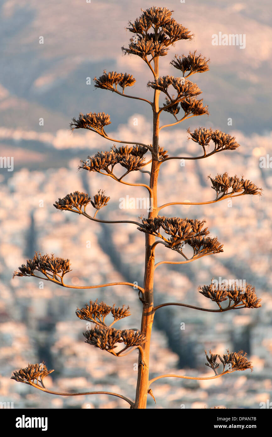 Ramo di albero visto contro la città di Atene, capitale della Grecia. Immagini Stock
