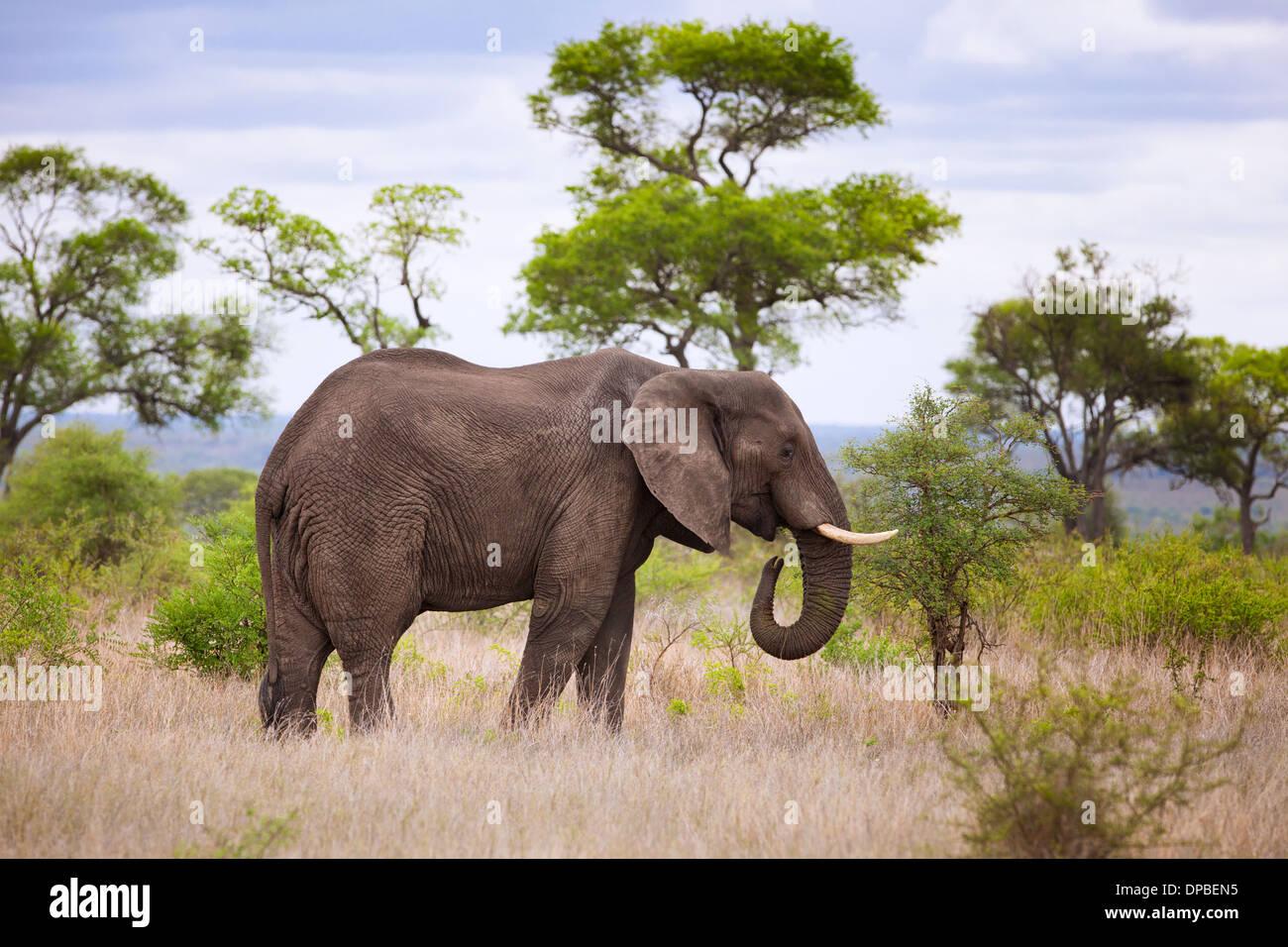 Una Bull Elephant ( Loxodonta africana ) pascolare nel Parco Nazionale di Kruger, Sud Africa. Immagini Stock