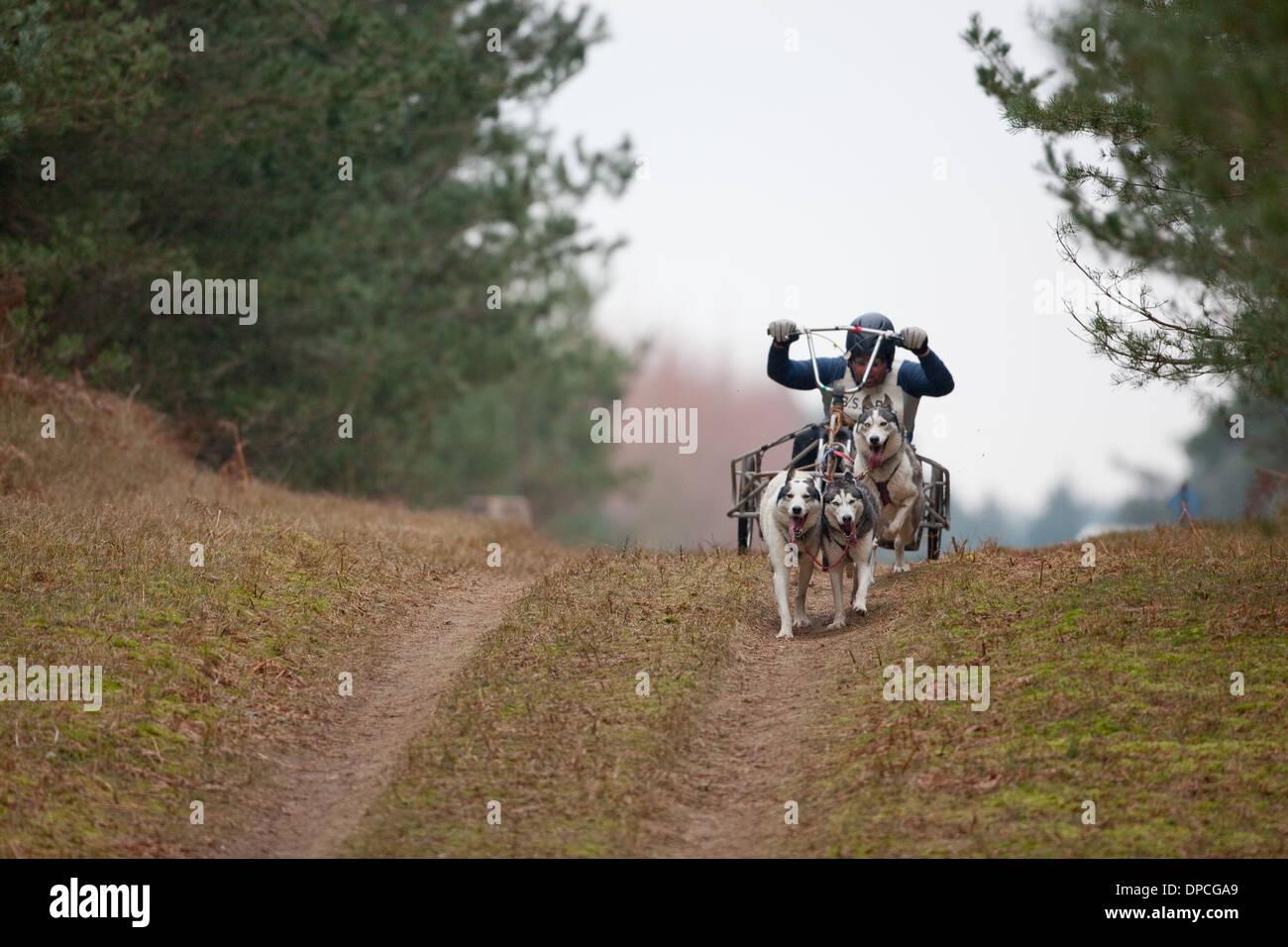 Husky 'Mush'. I concorrenti. Foresta di Rendlesham, Suffolk. Incontro organizzato da Siberian Husky Club della Gran Bretagna. Immagini Stock