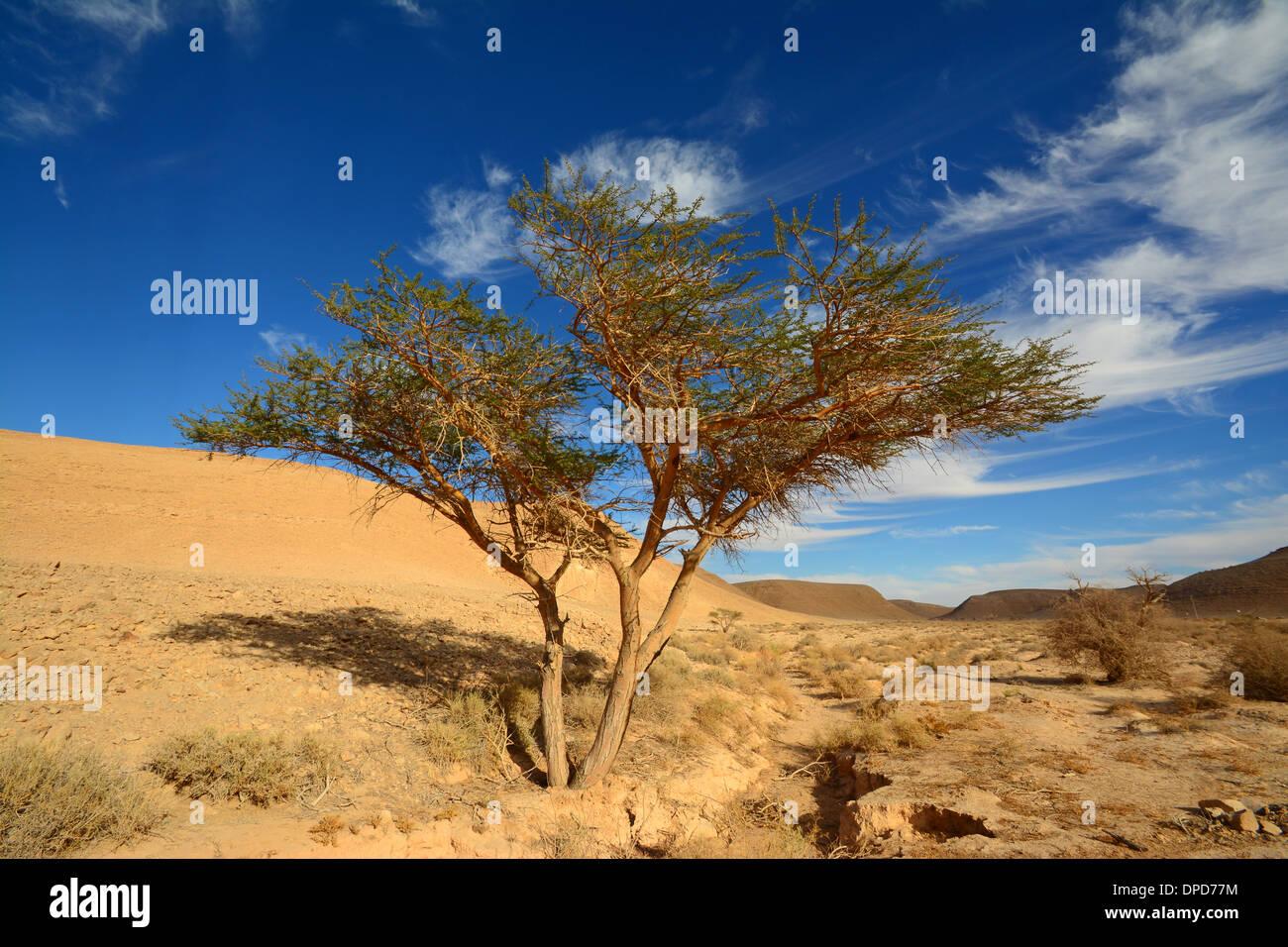Acacia nel deserto Immagini Stock
