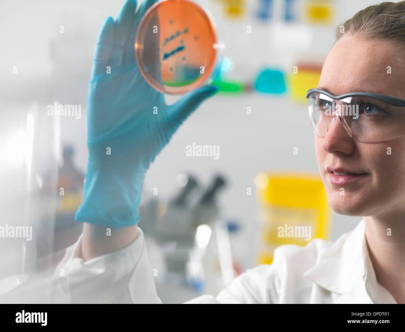 Donna scienziato esaminando colture microbiologiche in una capsula di petri Immagini Stock