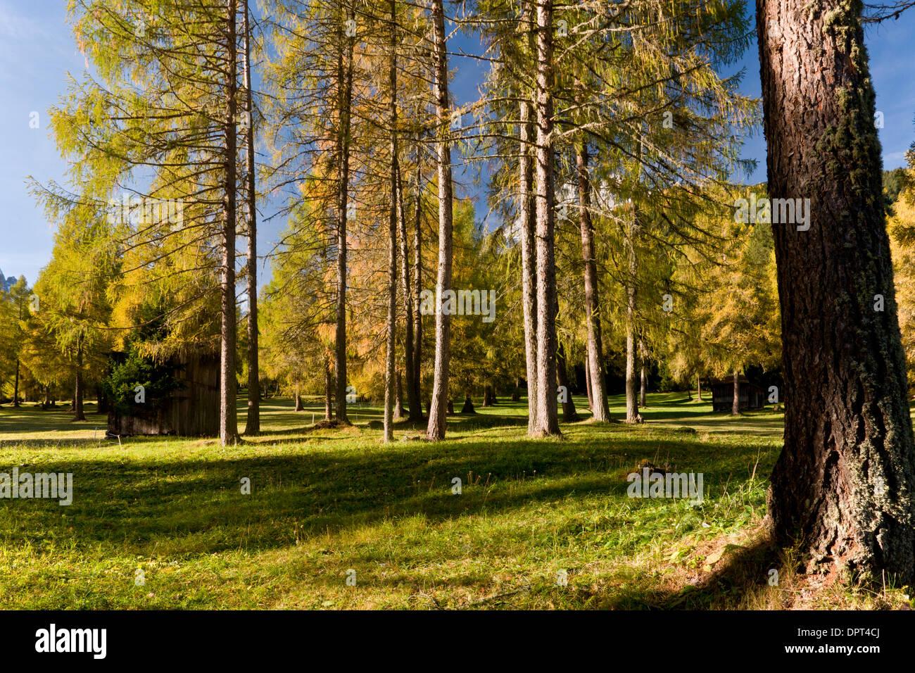 Legno di larice pascolo a campo di Dentro, Dolomiti orientali, nord Italia. Immagini Stock