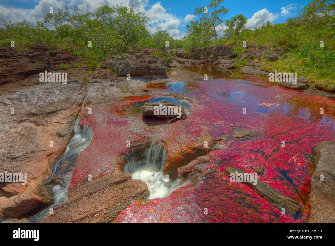 Colori a Cano Cristales, Colombia piante sottomarine (Macarenia clarigera) endemica al piccolo ruscello e area, area Llano Immagini Stock