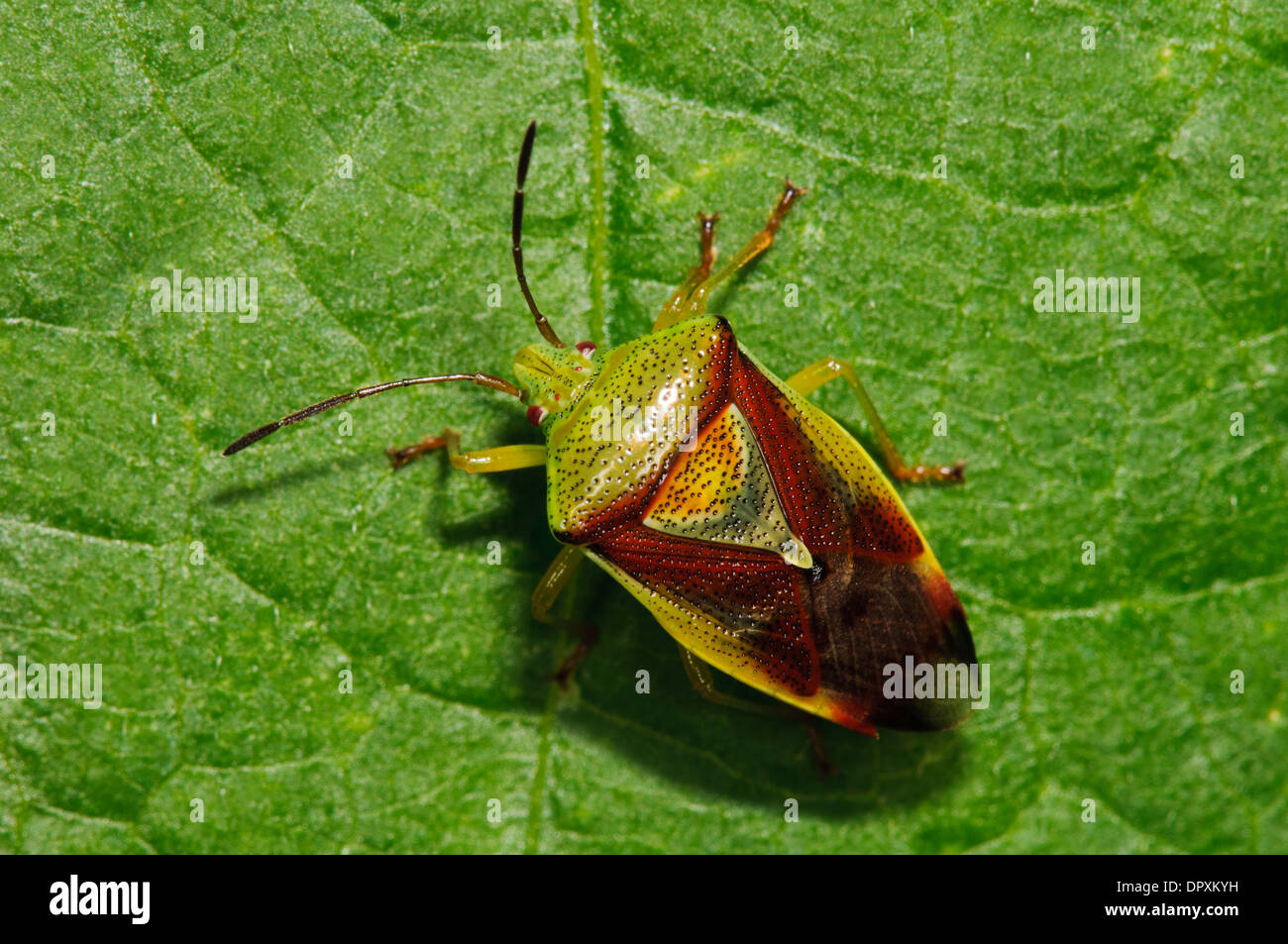 Protezione di betulla Bug (Elasmostethus interstinctus), Adulto a piedi attraverso una foglia in un giardino in Bexleyheath Kent. Agosto. Immagini Stock