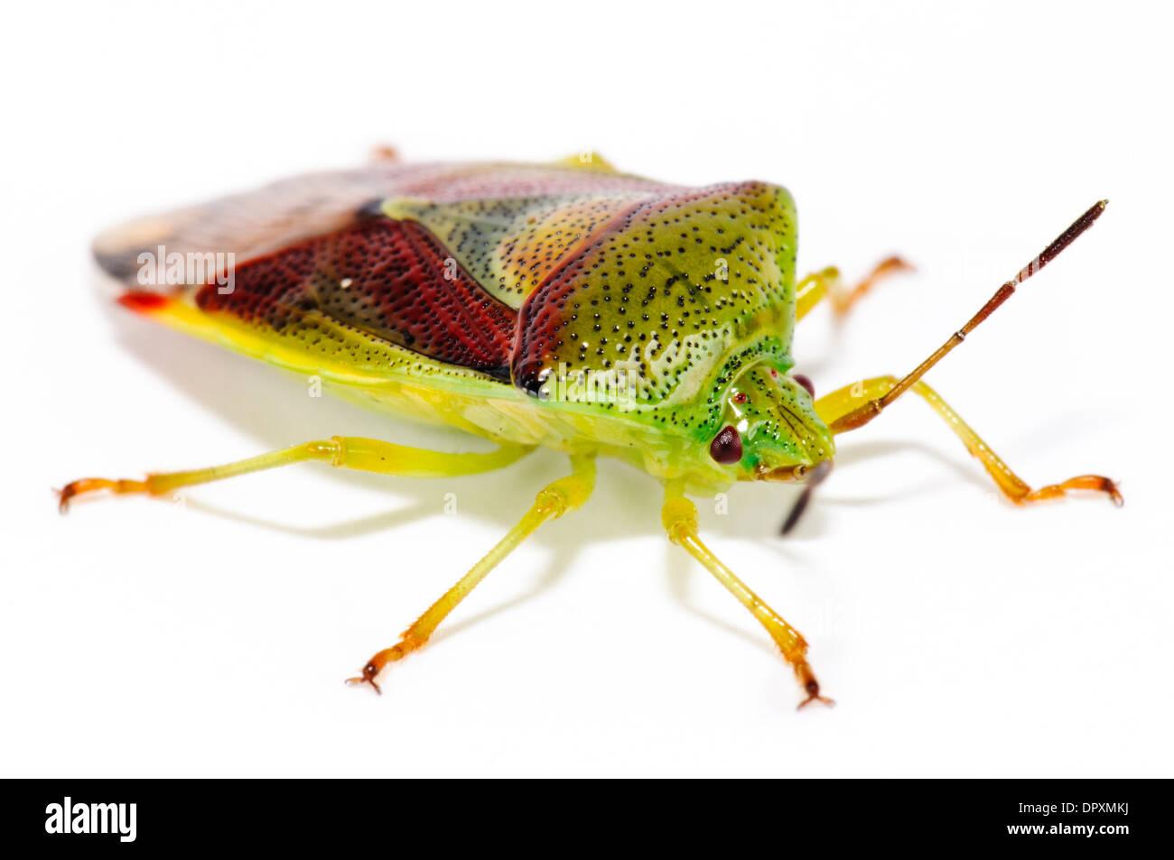 Protezione di betulla Bug (Elasmostethus interstinctus), Adulto fotografati contro uno sfondo bianco in Bexleyheath Kent. Agosto. Immagini Stock