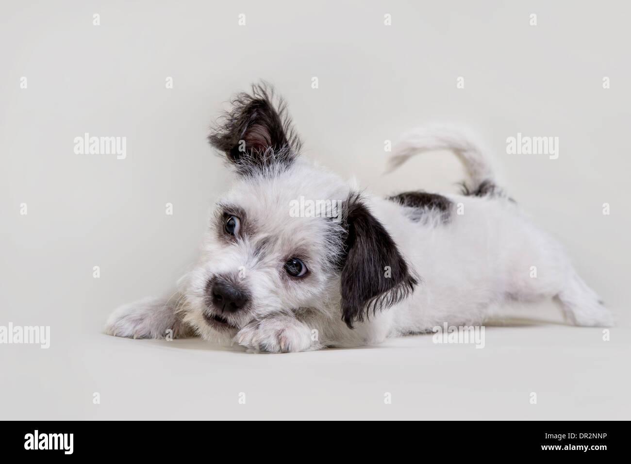 Giocoso terrier cucciolo su grigio chiaro studio sullo sfondo. Immagini Stock