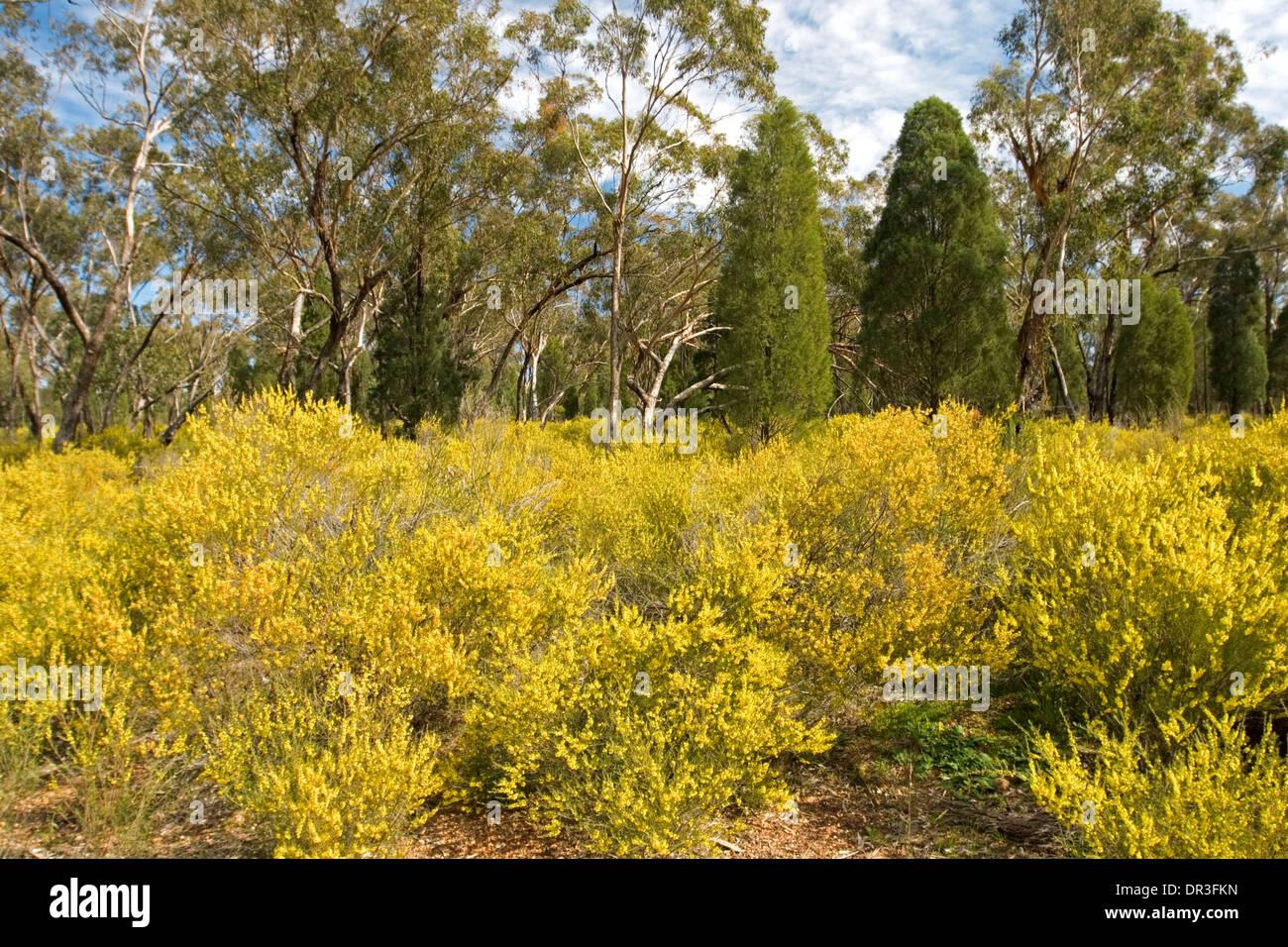 Arbusto Boschivo Dai Fiori Gialli.Massa Di Spettacolare Fioritura Nativo Di Arbusti Graticcio