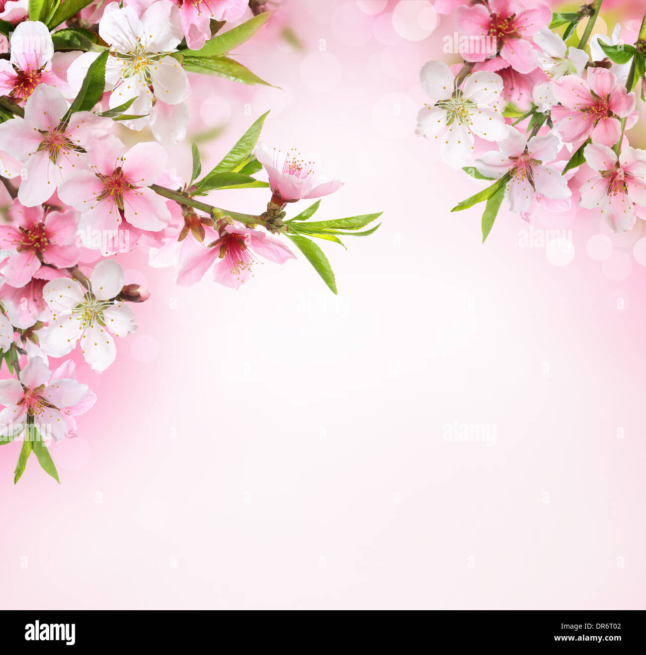 Pesca Fiore Blossom Su Sfondo Rosa Foto Immagine Stock 65918722