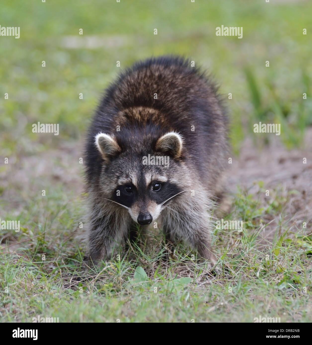 Giovani Raccoon in Florida Park Immagini Stock