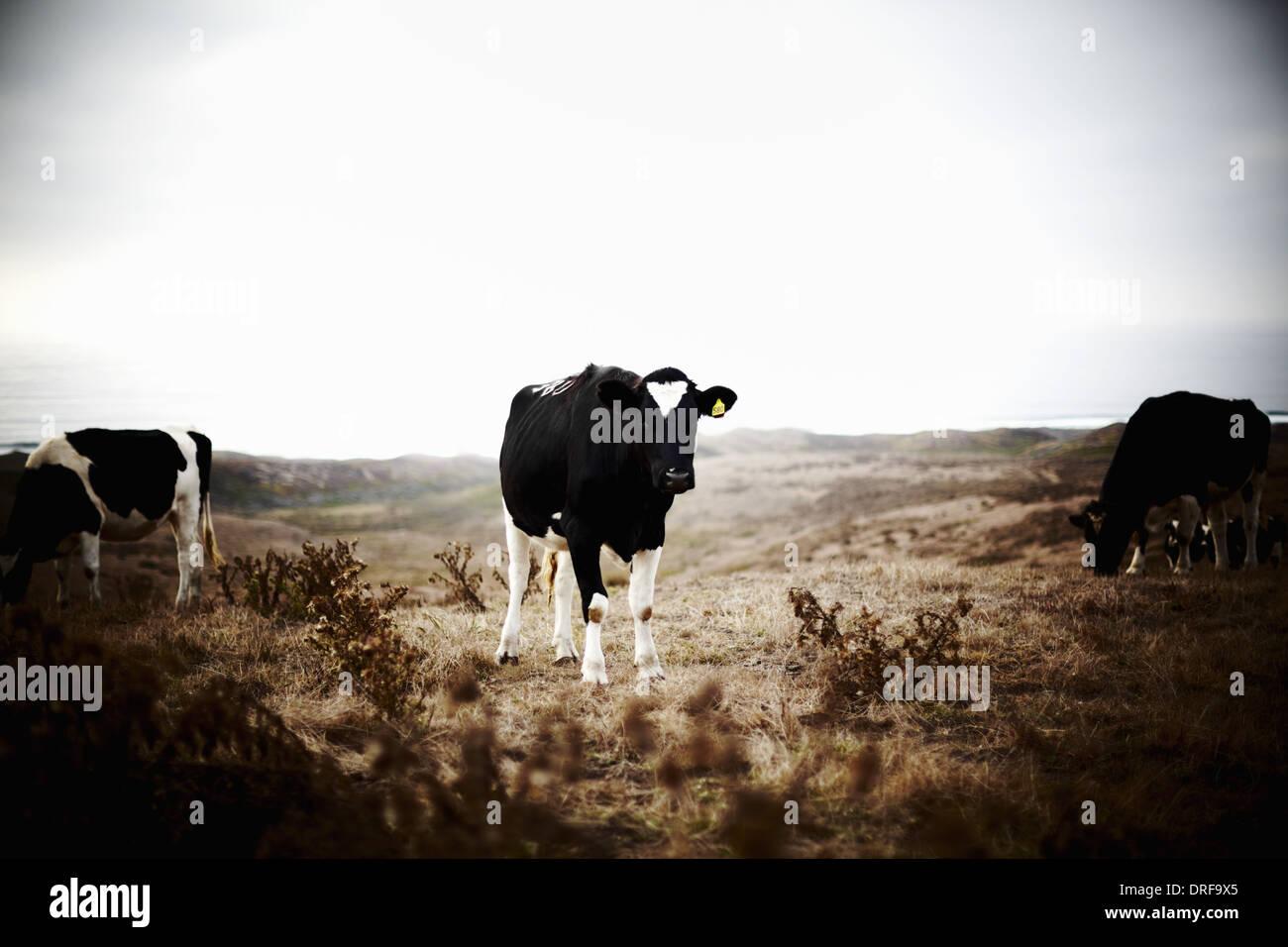 USA tre vacche su terra di pascolo Foto Stock