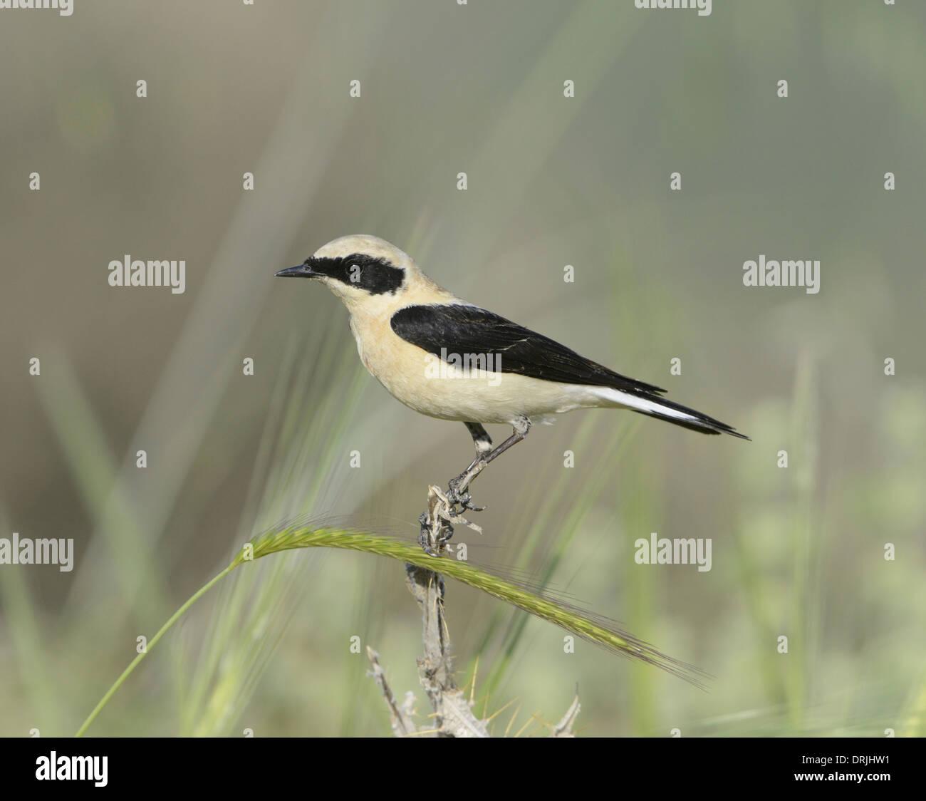 Nero-eared culbianco - Oenanthe hispanica - gara orientale maschio, pale-throated forma Immagini Stock