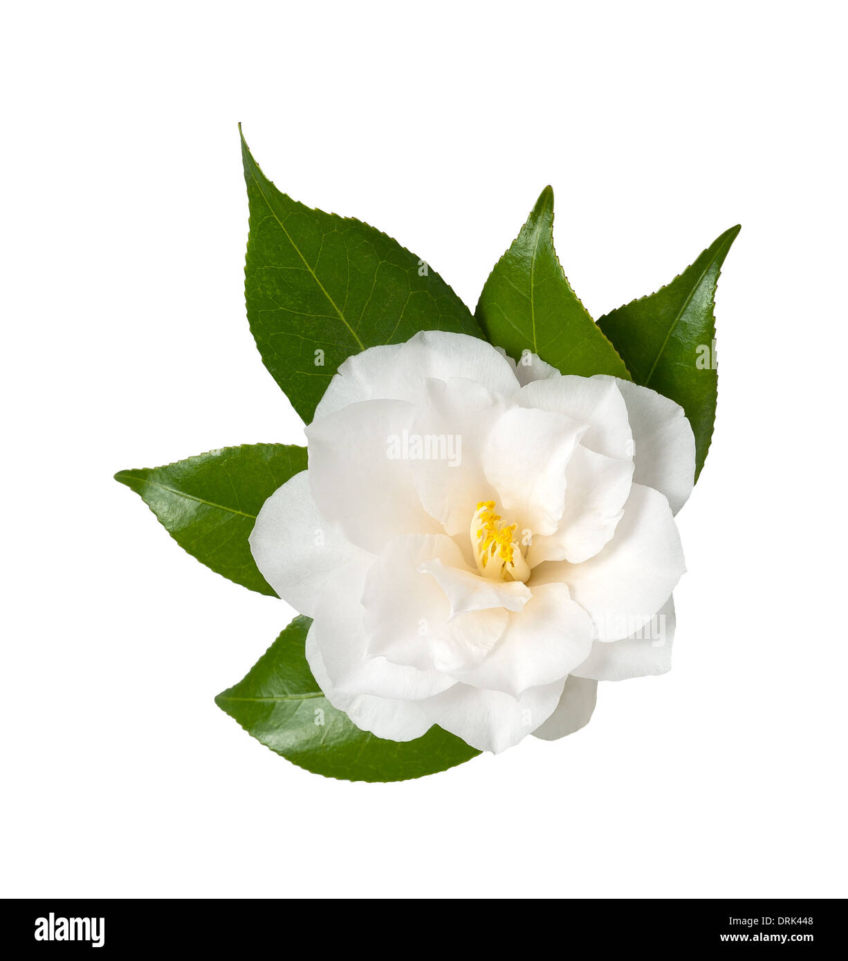 Fiore bianco isolato su sfondo bianco, Camelia Immagini Stock