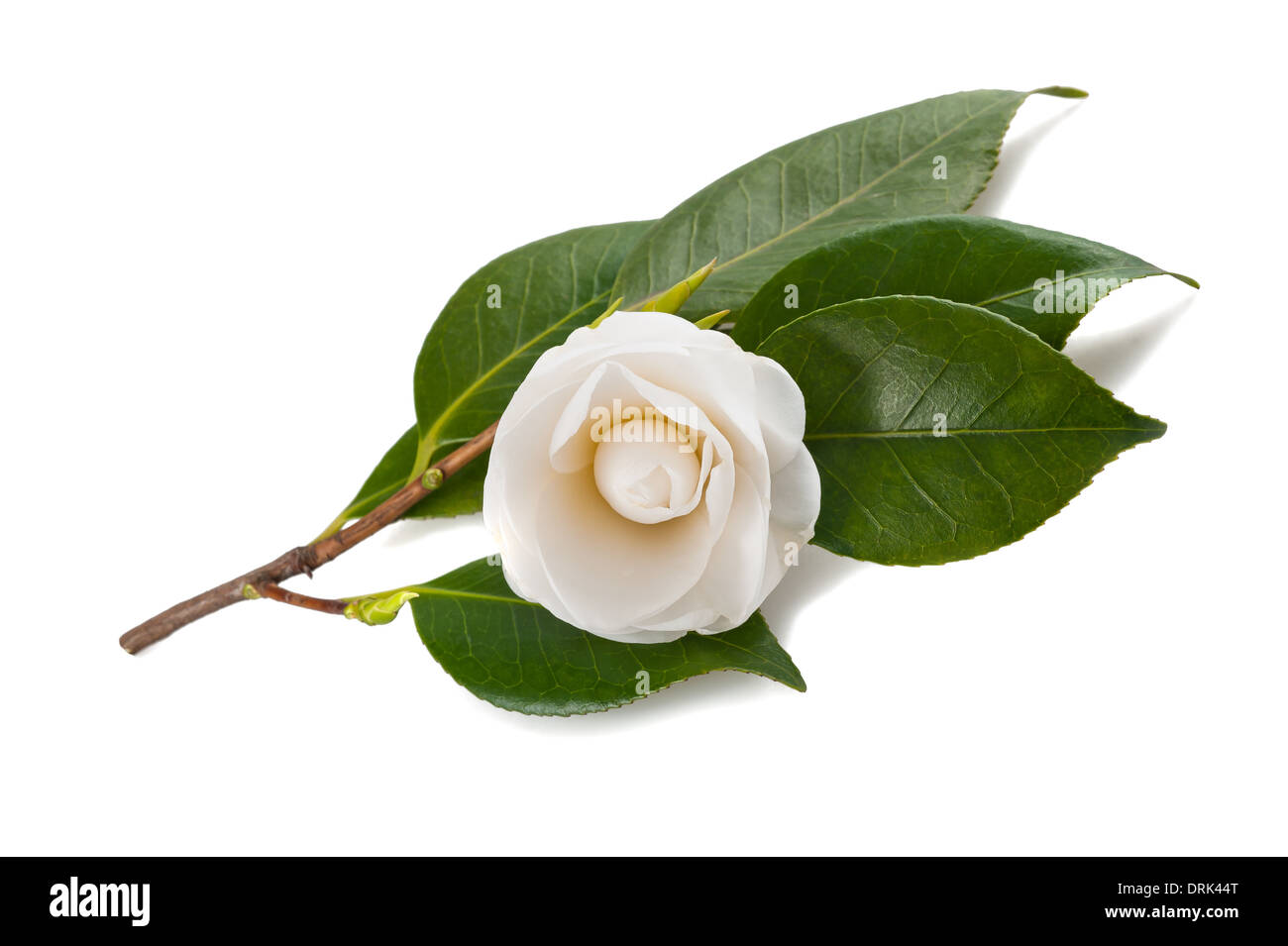 White camellia isolato su bianco Immagini Stock