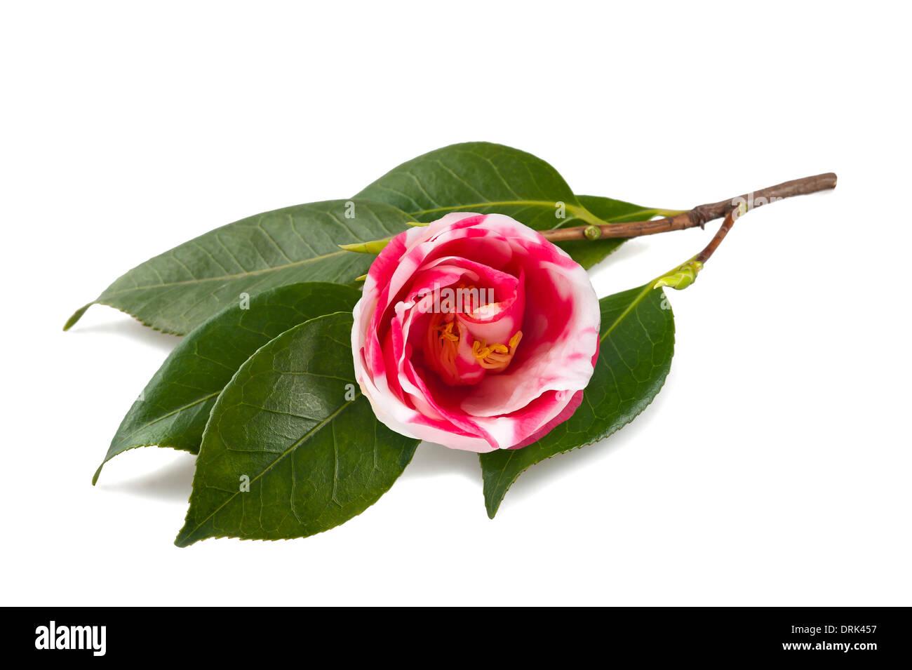 Il bianco e il rosso di camellia isolato su bianco Immagini Stock