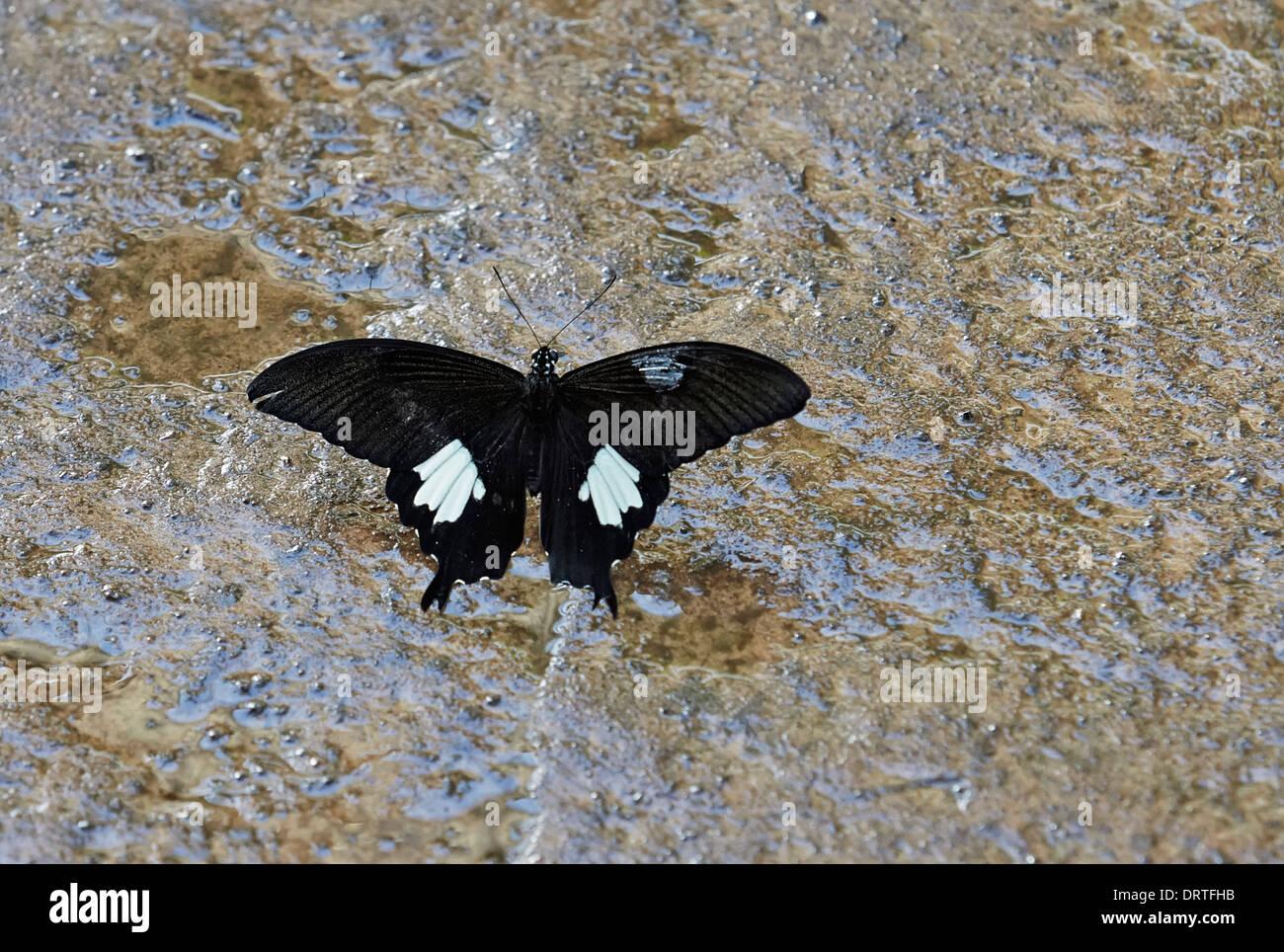 Bianco e Nero Helen butterfly Papilio nephelus sunatus dalla famiglia Papilionidae dorsale o aprire la vista dell'Australasia e India Immagini Stock
