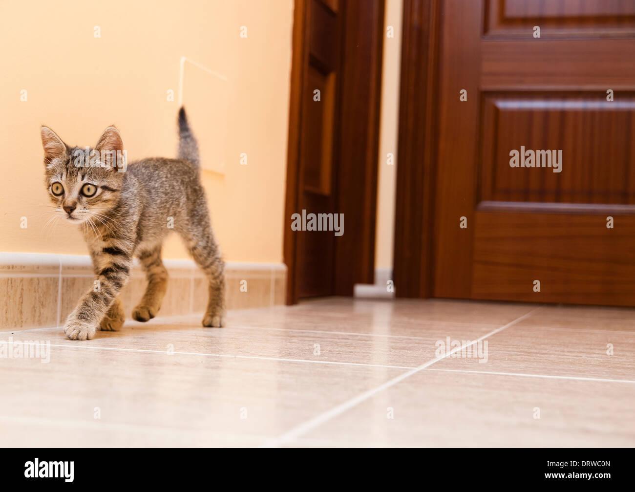 Corridoio Lungo Casa : Gattino camminare lungo il corridoio di una casa il gatto è