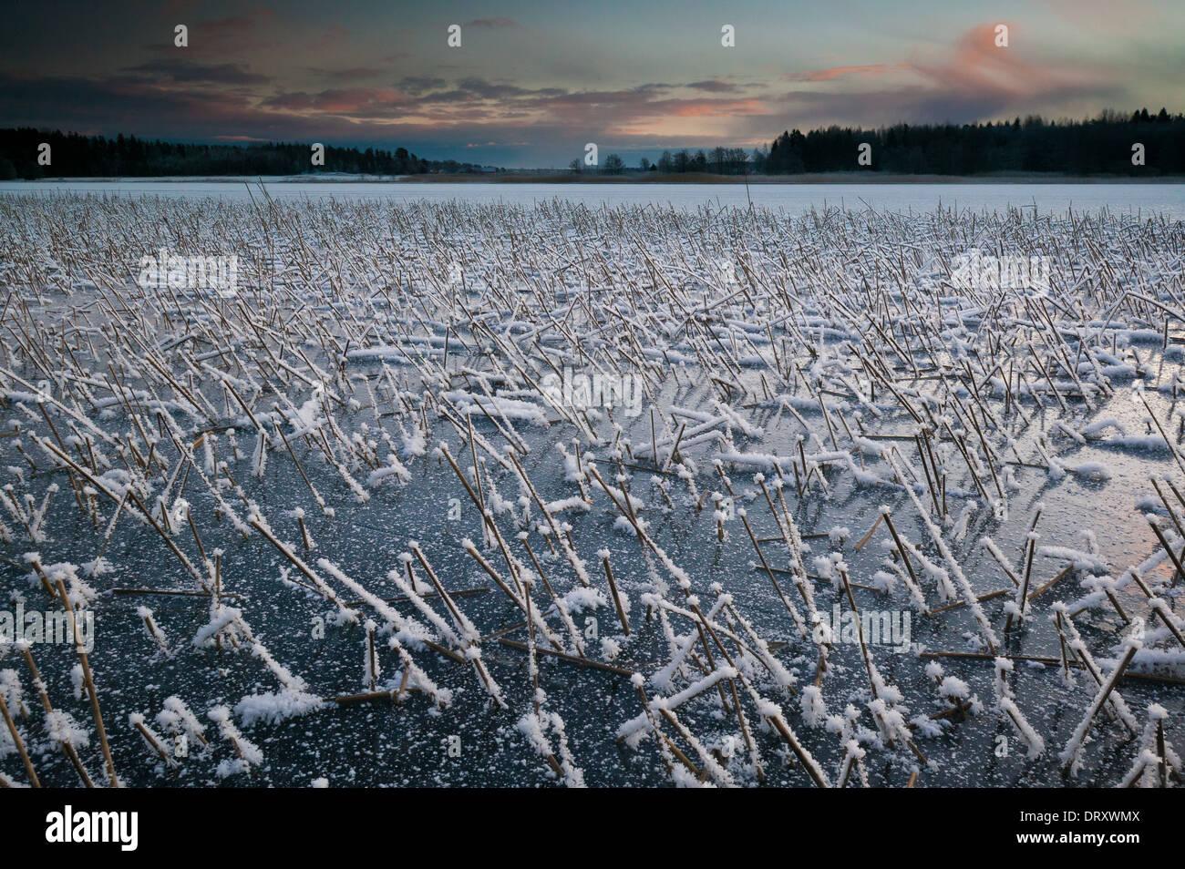 Ance congelati all'alba, a Vanemfjorden nel lago Vansjø, Østfold fylke, Norvegia. Immagini Stock