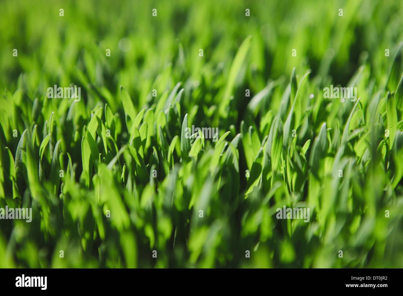 Stato di Washington USA Close up di lussureggiante verde erba Immagini Stock