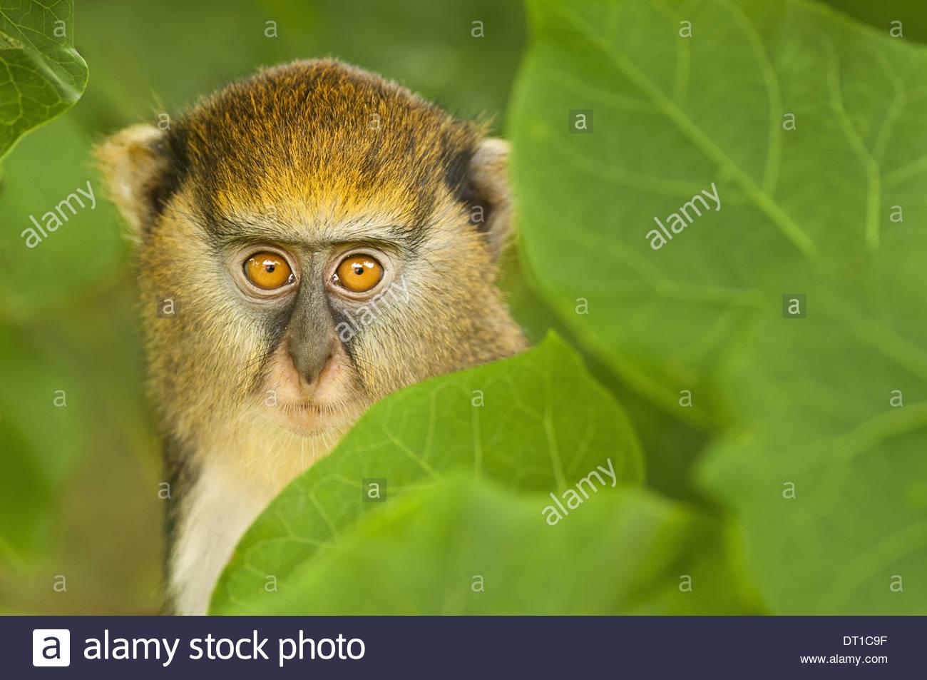 Scimmia Boabeng-Fiema Santuario Ghana giovani Mona monkey Cercopithecus mona Ghana Immagini Stock