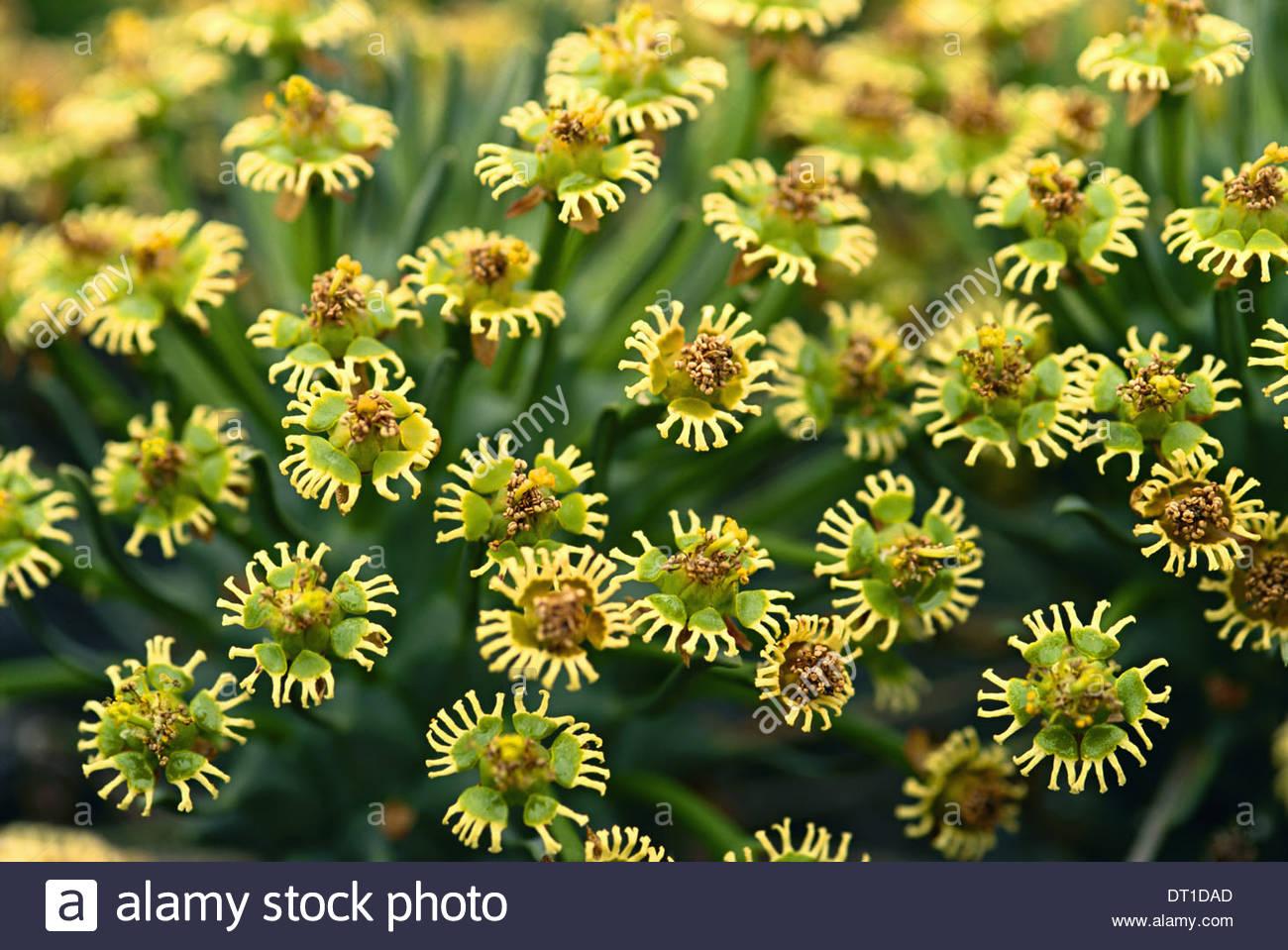 Goegap Riserva naturale Sud Africa Euphorbiflowers Euphorbisp Goegap Riserva Naturale Immagini Stock